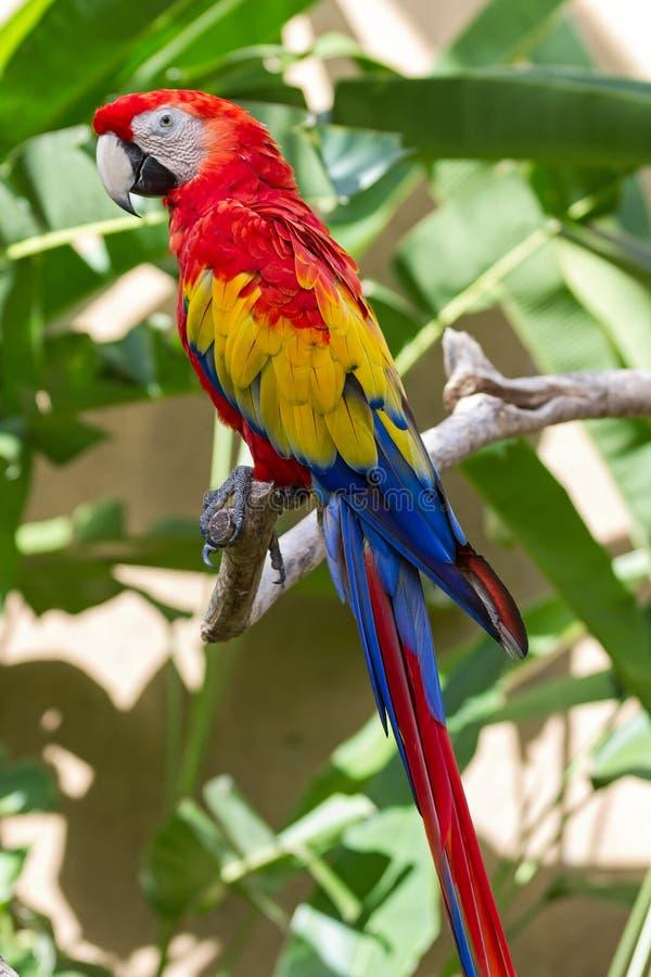Macaw del escarlata en el cerco de la naturaleza fotos de archivo