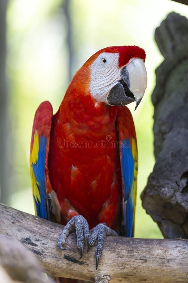 Macaw del escarlata encaramado en una rama fotos de archivo