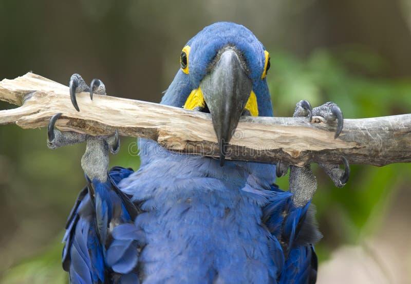 Macaw del giacinto che gioca nell'albero, pantanal, Brasile immagine stock libera da diritti