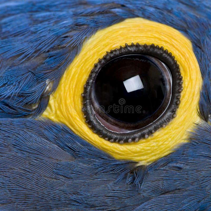 Macaw del jacinto, 1 año, cierre para arriba en ojo imágenes de archivo libres de regalías