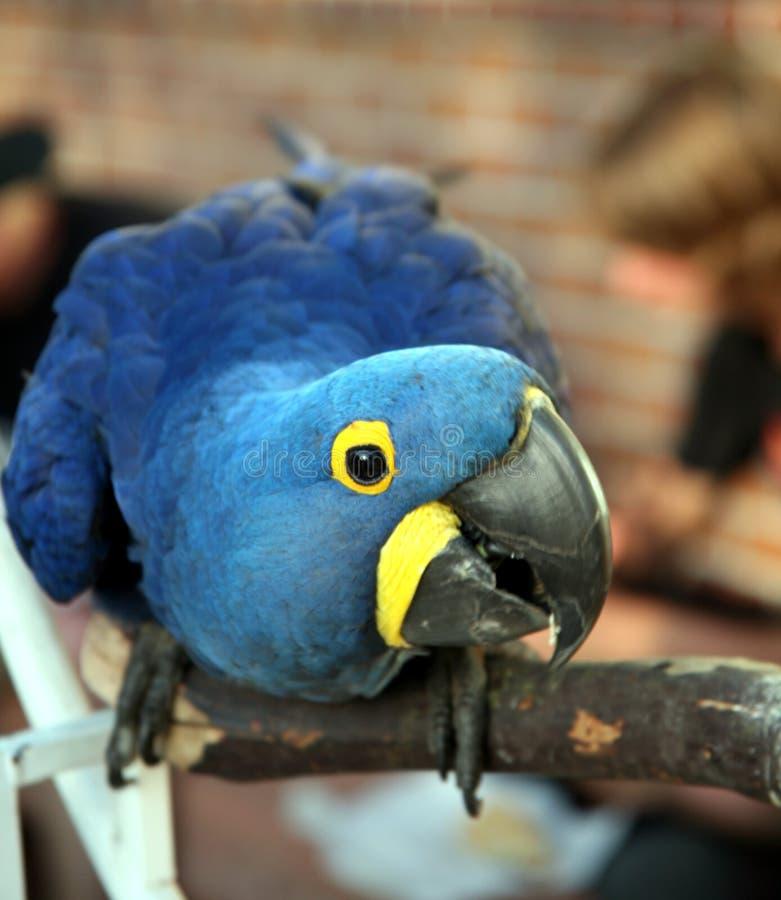 Macaw del jacinto el ponerse en cuclillas fotografía de archivo