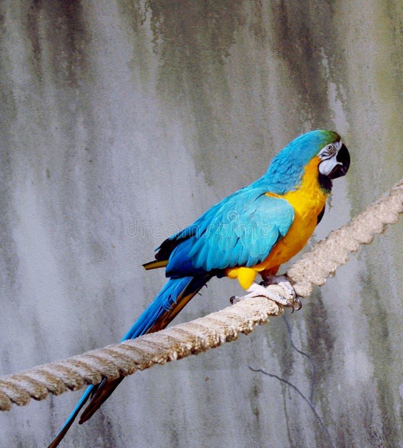 Macaw Dell Oro E Dell Azzurro Fotografia Stock
