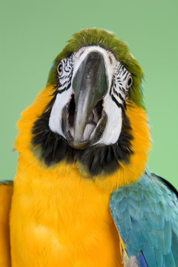 Macaw dell'oro e dell'azzurro fotografie stock