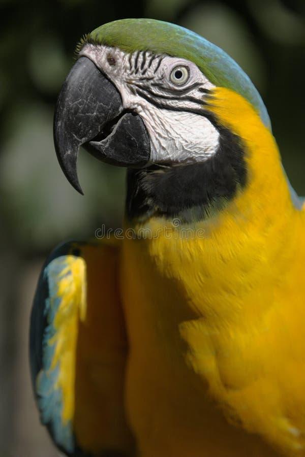 Macaw dell'oro e dell'azzurro immagine stock libera da diritti