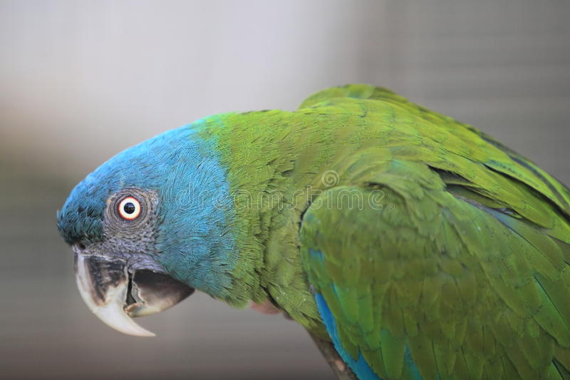 Macaw dirigido azul imagenes de archivo