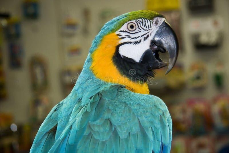 Macaw do azul & do ouro fotografia de stock royalty free