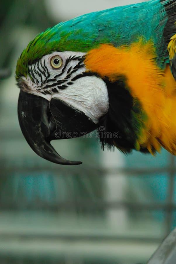 Macaw do Indigo (leari de Anodorhynchus) foto de stock royalty free