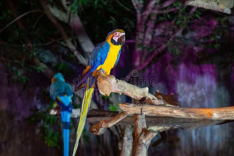 Macaw dos en Chiang Mai Night Safari fotos de archivo