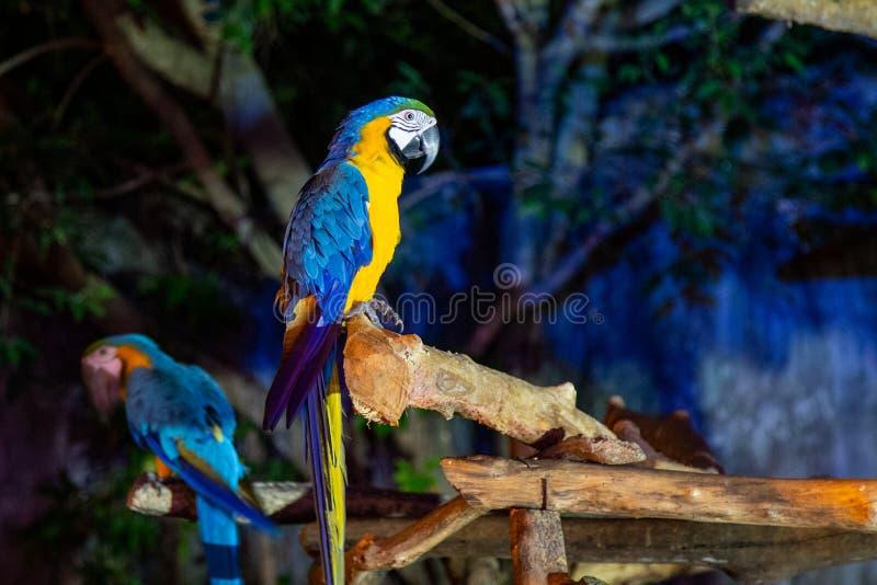 Macaw dos en Chiang Mai Night Safari foto de archivo libre de regalías