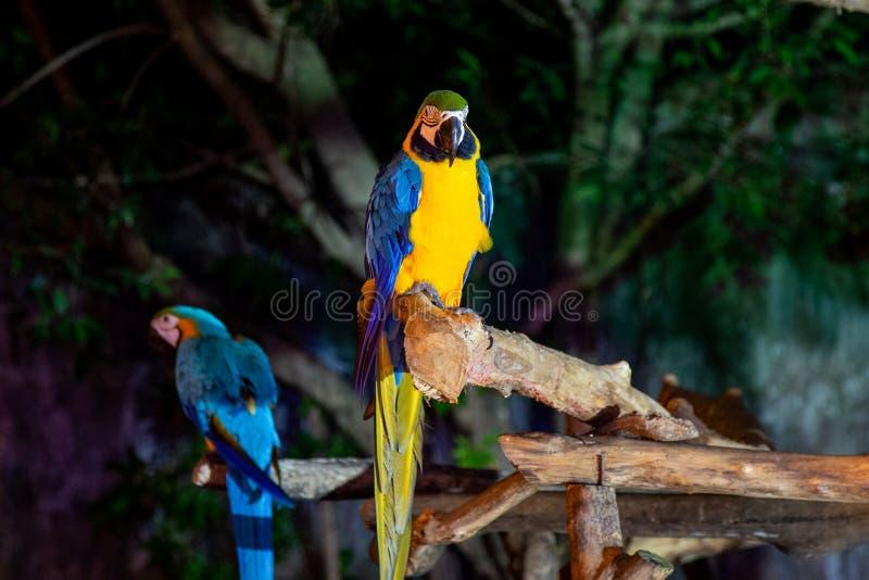 Macaw dos en Chiang Mai Night Safari fotografía de archivo libre de regalías
