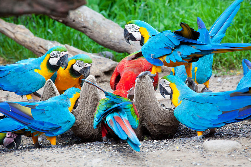 Macaw eating. Hungry colorful macaw eating the nut stock images