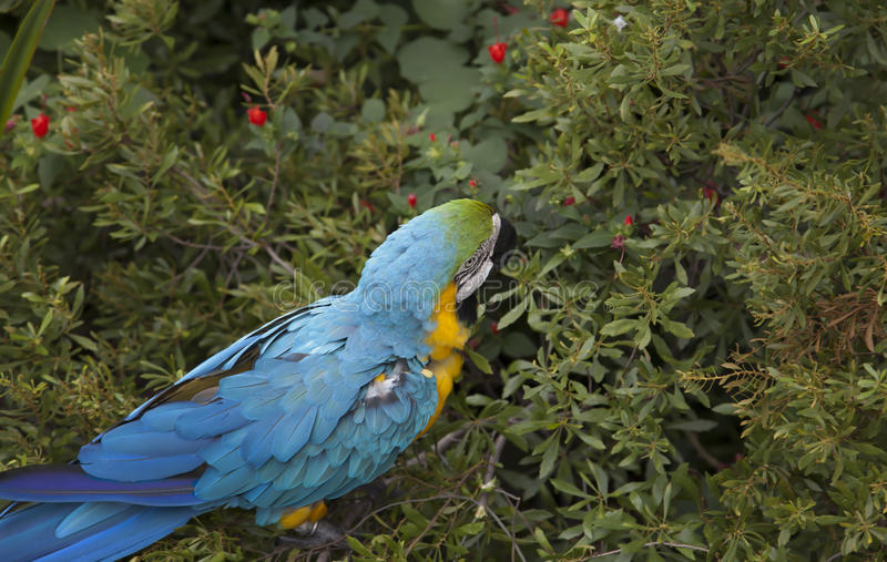 Macaw Eating royalty free stock photos