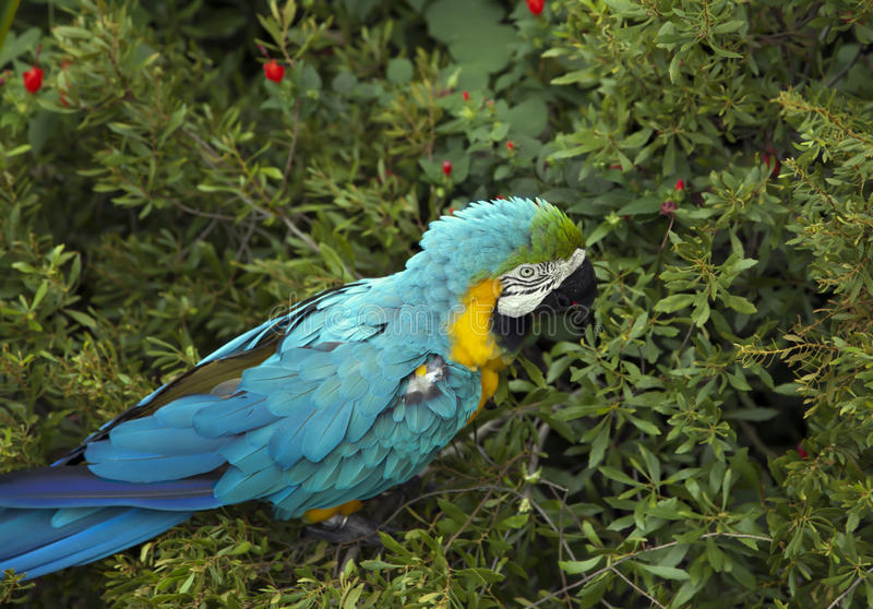 Macaw Eating stock photos
