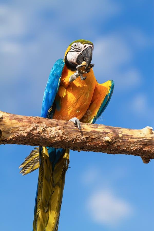 Macaw eating pound cake. Hungry macaw enjoying eating pound cake royalty free stock photography