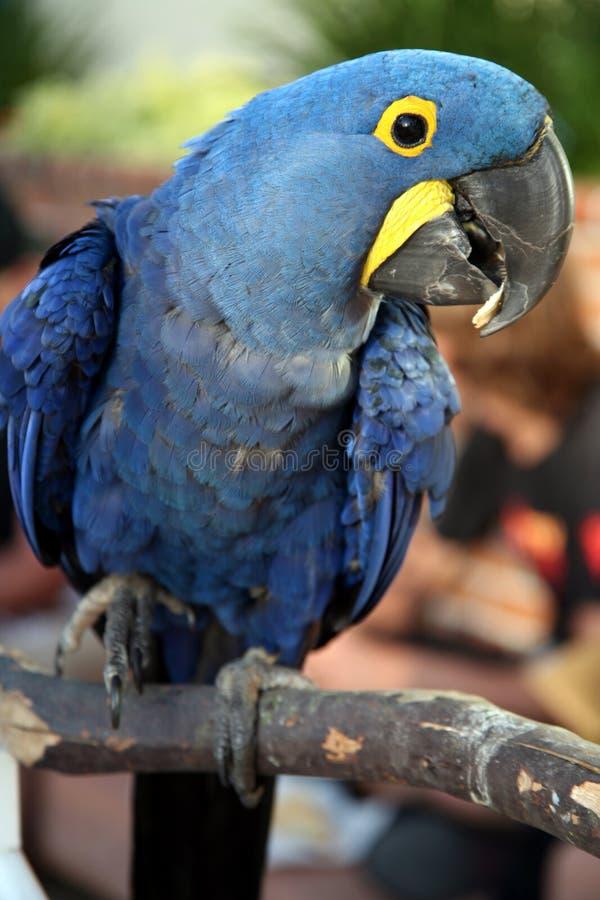Macaw empoleirado do hyacinth imagens de stock