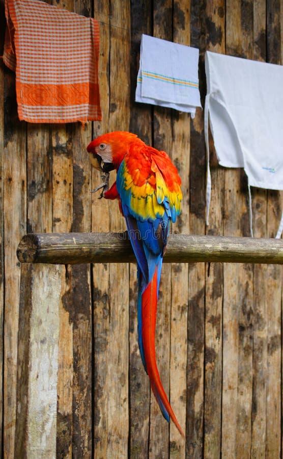 Macaw en Amazone images libres de droits