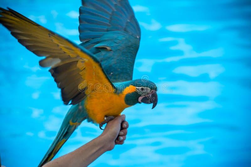 Macaw en la mano imagen de archivo libre de regalías