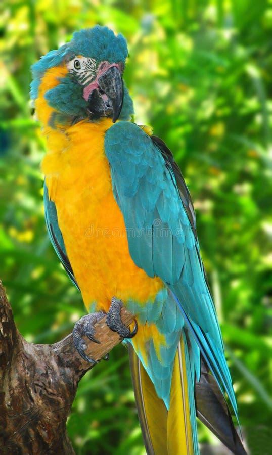 Macaw giallo immagine stock