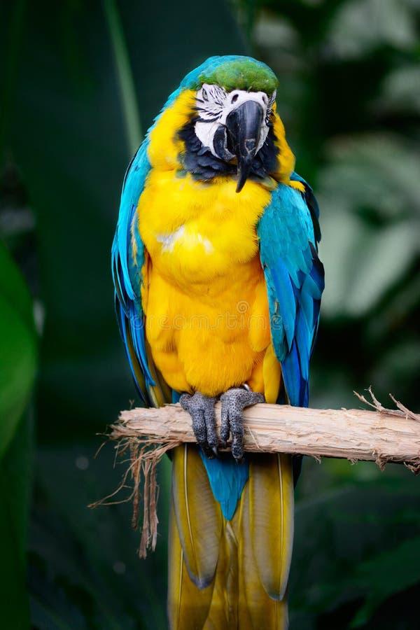 Macaw grazioso fotografia stock libera da diritti