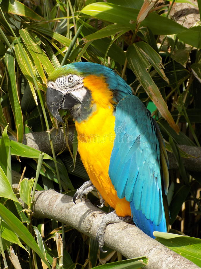 Macaw. High res pic of this beautiful mcaw stock image