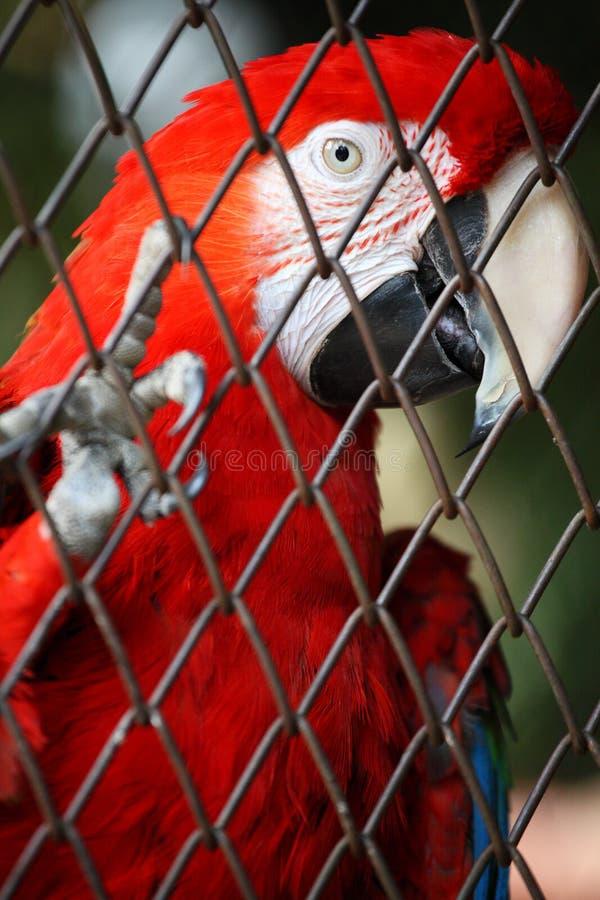 Macaw im Birdcage stockbild