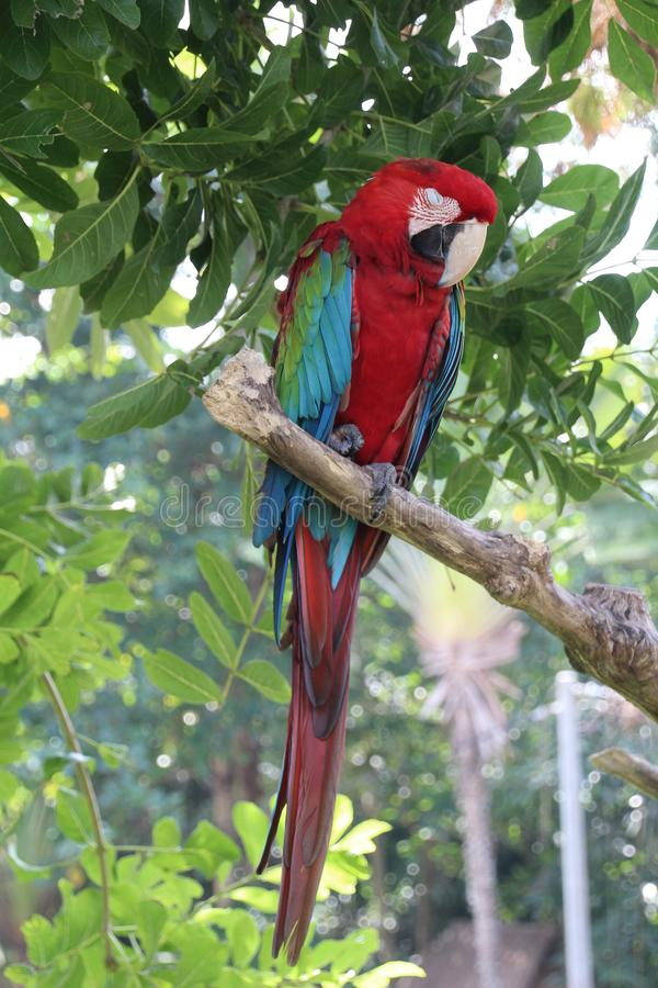 Macaw. The Macaw is the largest member of the parrot family. Due to their beautiful plumage and friendly nature, they are often kept as pets royalty free stock image
