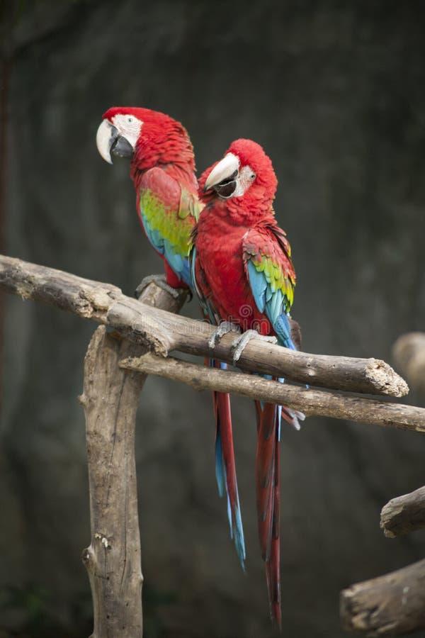 Macaw / macaw blue yellow green white royalty free stock photos