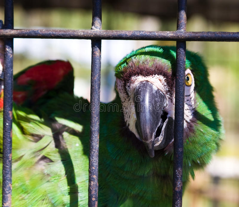 Macaw messo in gabbia salvato fotografia stock