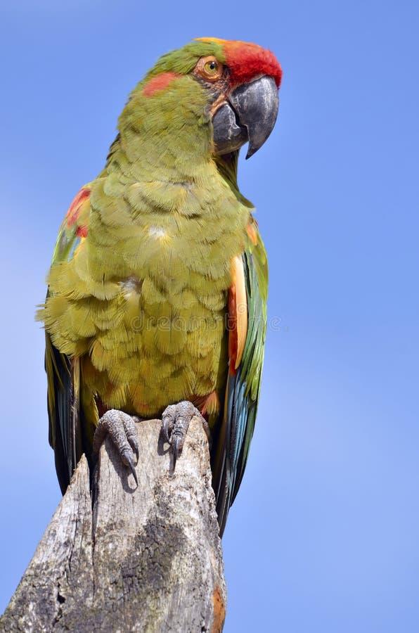 Macaw militaire été perché photographie stock libre de droits