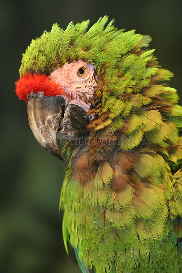 Macaw militaire photographie stock