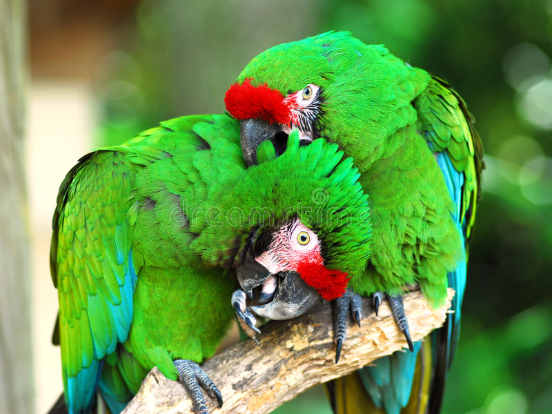 Macaw militaire photos stock