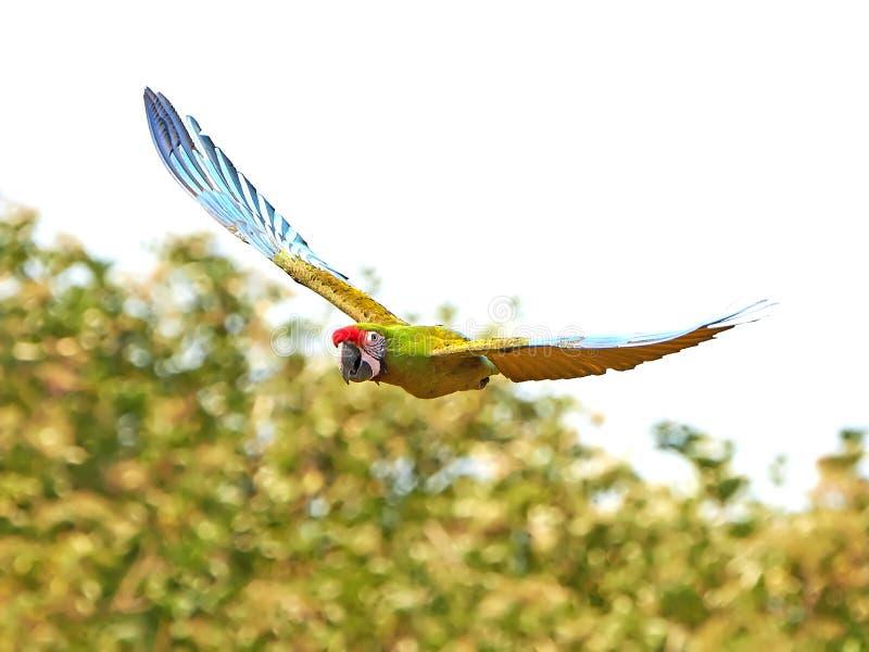 Macaw militar (militaris do Ara) foto de stock royalty free