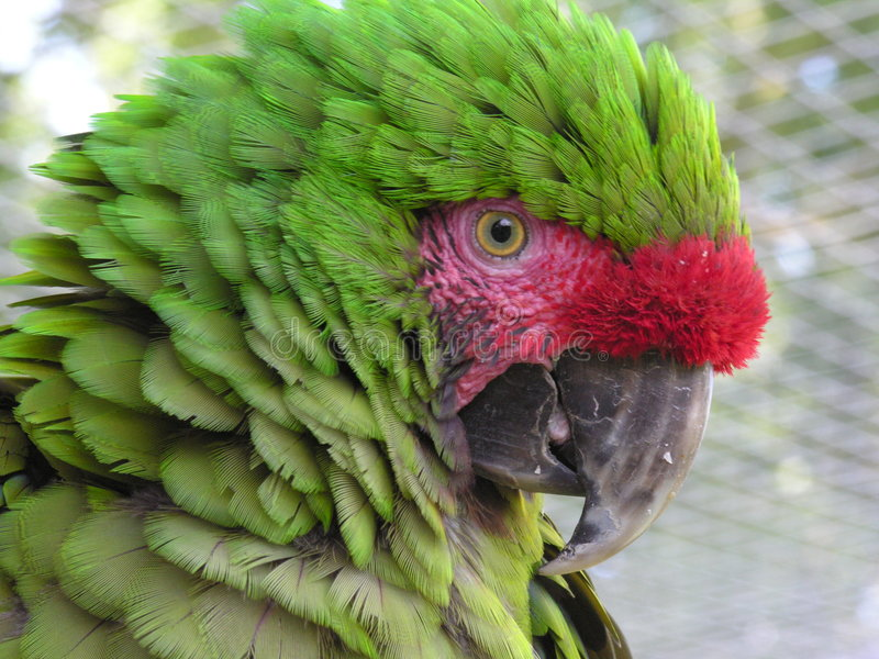 Download Macaw militare fotografia stock. Immagine di uccello, piume - 206148
