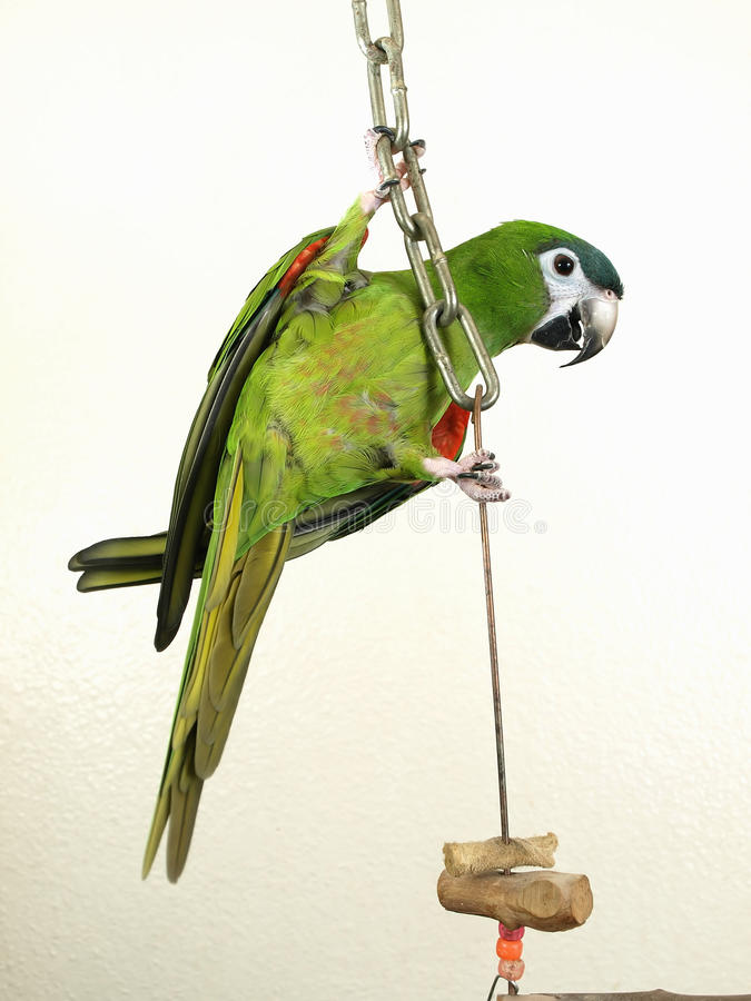 Macaw noble miniature illustration stock