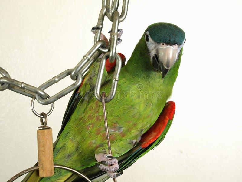 Macaw nobre diminuto foto de stock