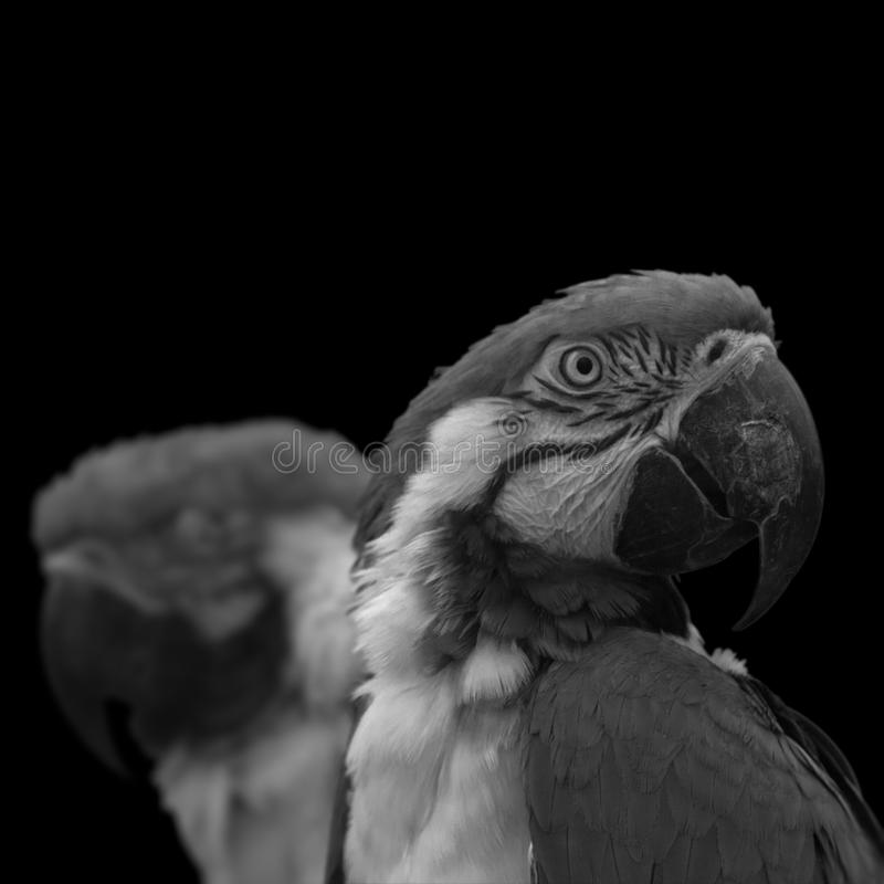 Macaw noir photographie stock