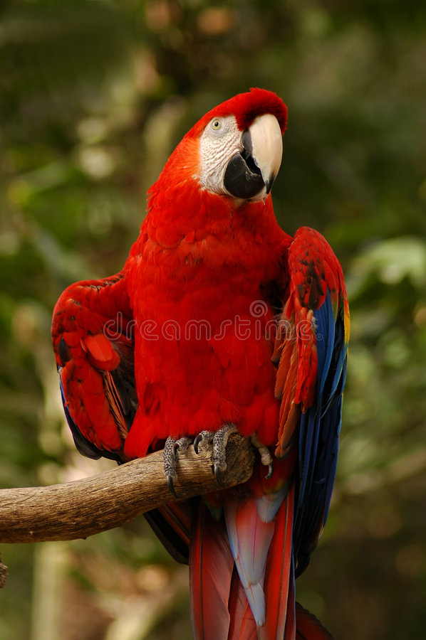 Macaw nordique d'écarlate photos stock