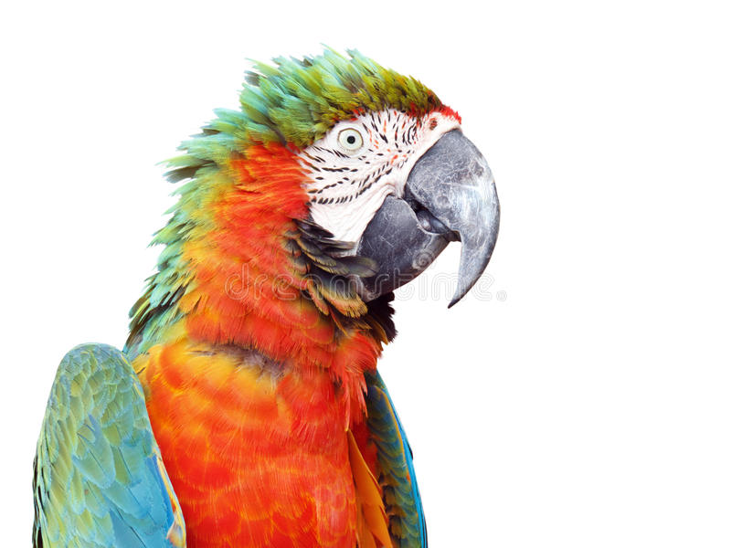Macaw orange coloré de perroquet d'isolement photo libre de droits