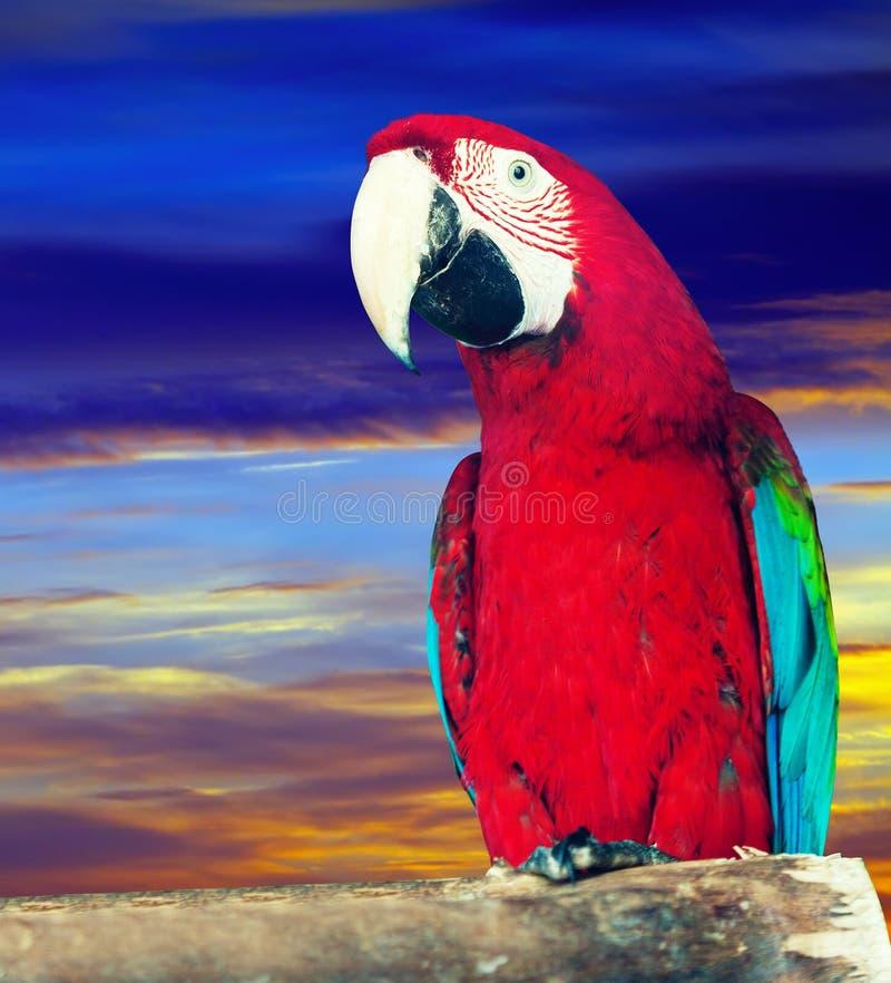 Macaw papagay ενάντια στον ουρανό αυγής στοκ εικόνα