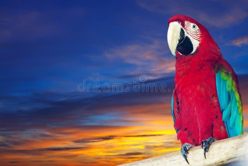 Macaw papagay ενάντια στον ουρανό αυγής στοκ εικόνα με δικαίωμα ελεύθερης χρήσης