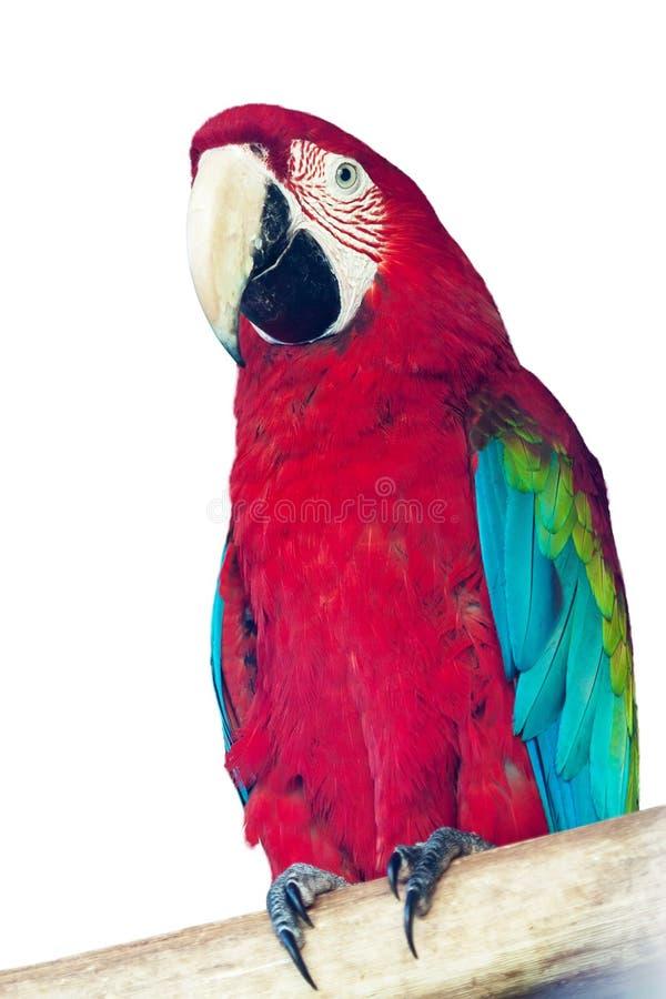 Macaw papagay στοκ φωτογραφία με δικαίωμα ελεύθερης χρήσης