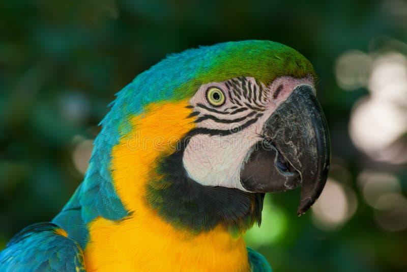 Macaw-Papagei lizenzfreies stockbild