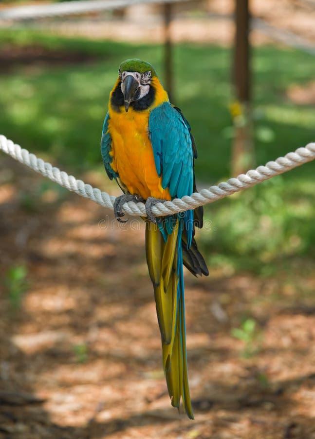 Macaw-Papagei lizenzfreie stockbilder