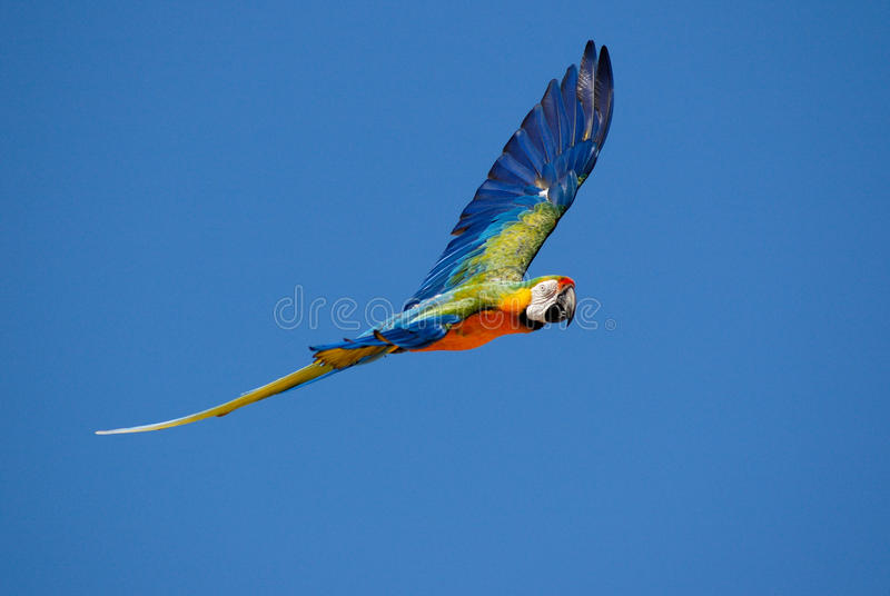 Macaw parrot. Flying in blue sky