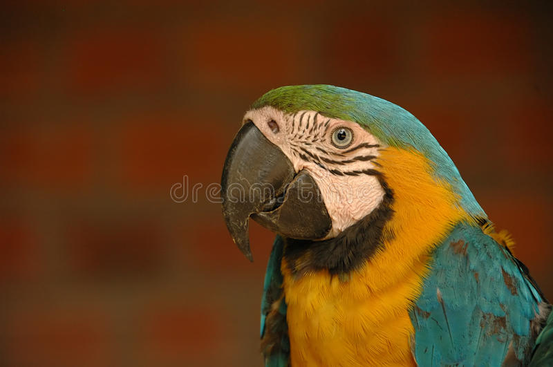 Macaw Parrot. A colorful macaw parrot on a red brick wall background royalty free stock photo