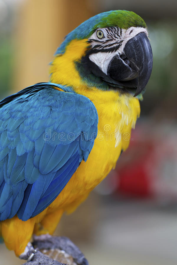 Macaw Parrot. Closeup of colorful Macaw Parrot royalty free stock image