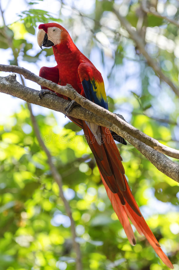 Macaw parrot. With background of tropical tree royalty free stock image