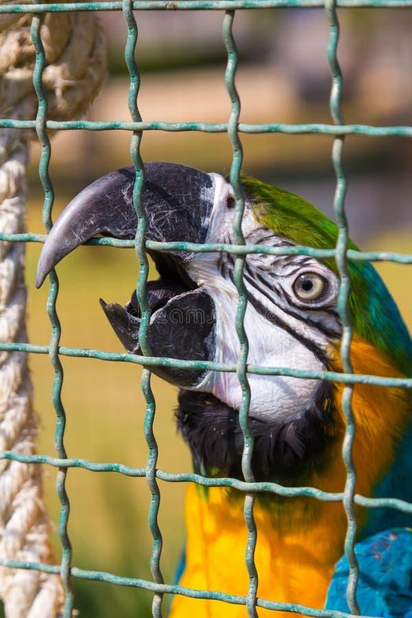 Macaw parrot beak the bird cage. Closeup Macaw parrot beak the bird cage royalty free stock photography