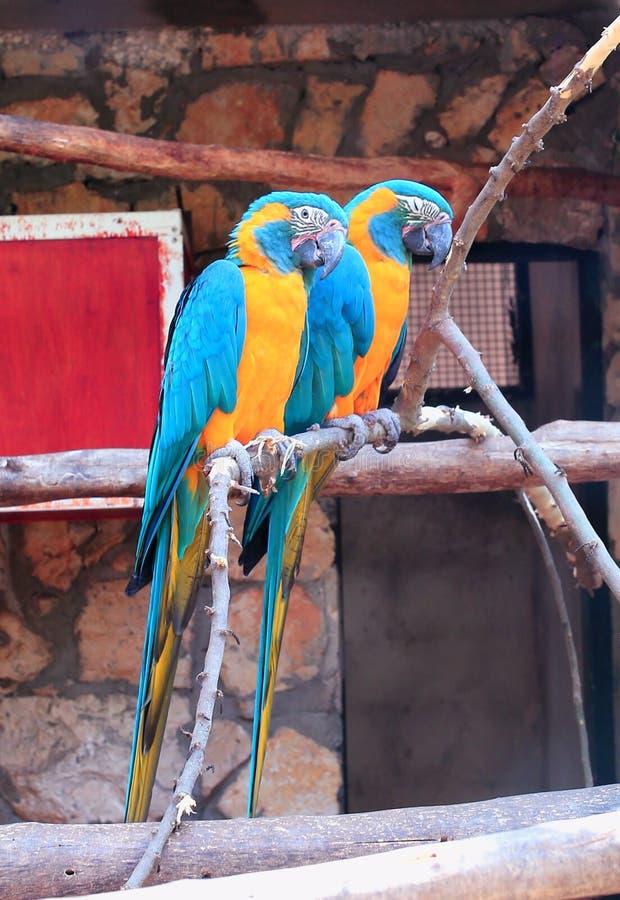Macaw, Parrot, Bird, Fauna stock photo