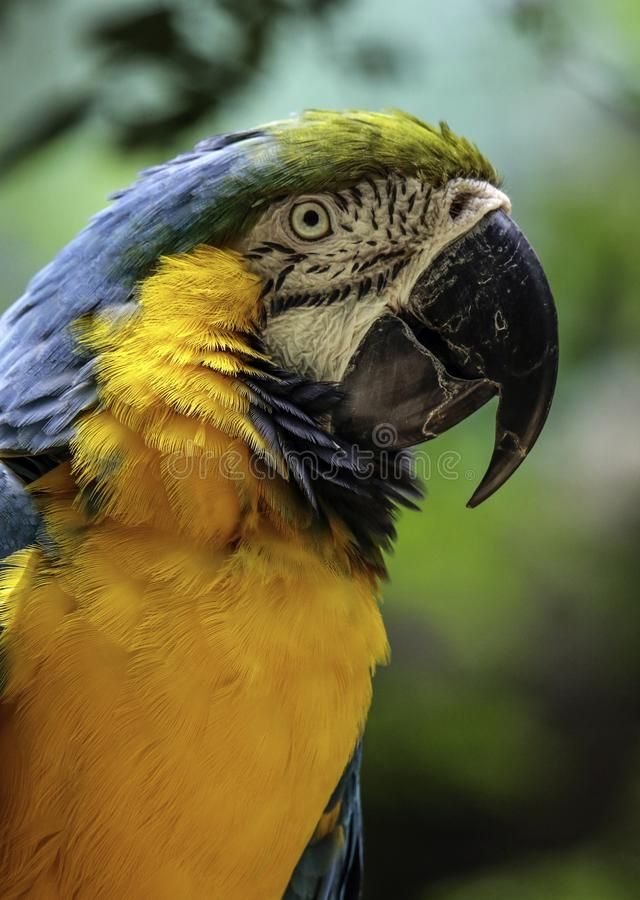 Macaw Parrot. Blue And Gold Parrot Close Up Portrait With Dark Background stock photo